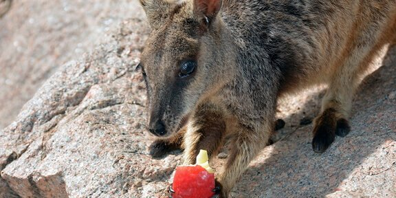 Adorable Baby Kangaroo