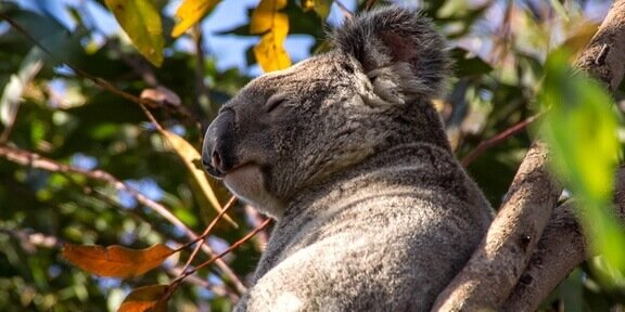 North-koala-escorted-across-brisbane-valley-highway-under-police-guard